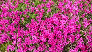 満開の芝桜の写真・画像素材[1211359]