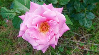 ピンクのばらの写真・画像素材[1213498]