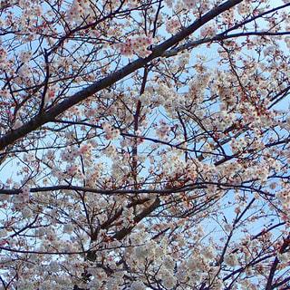 公園の桜の写真・画像素材[1219525]