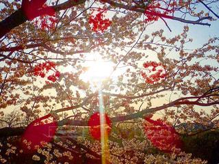 夕日に照らされる桜の写真・画像素材[1222705]