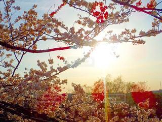 夕日に照らされる桜の写真・画像素材[1223690]