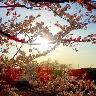 夕日に照らされる桜の写真・画像素材[1223691]