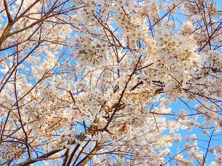 公園の桜の写真・画像素材[1223692]