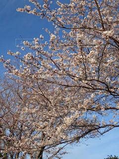 公園の桜の写真・画像素材[1224583]