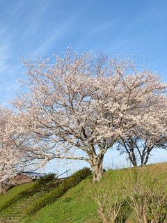 公園の桜の写真・画像素材[1224958]