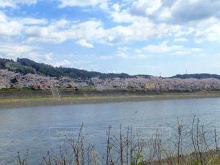 堤防の桜並木の写真・画像素材[1247807]
