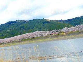 堤防の桜並木の写真・画像素材[1247809]