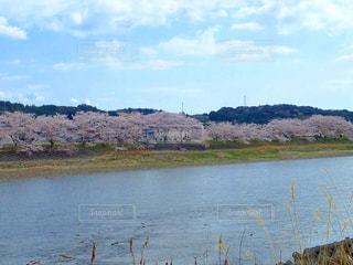 川沿いの桜並木の写真・画像素材[1250838]