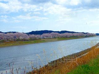 川沿いの桜並木の写真・画像素材[1250839]