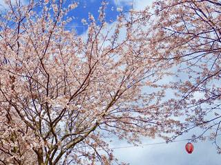 堤防の桜並木の写真・画像素材[1253663]