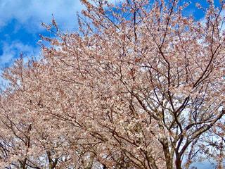 堤防桜並木の写真・画像素材[1253664]