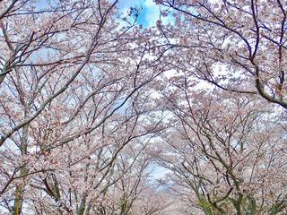桜のトンネルの写真・画像素材[1254080]