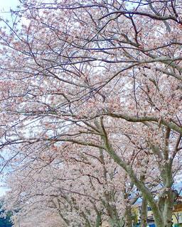 堤防の桜並木の写真・画像素材[1256186]