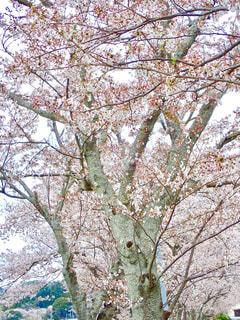 堤防の桜並木の写真・画像素材[1256522]
