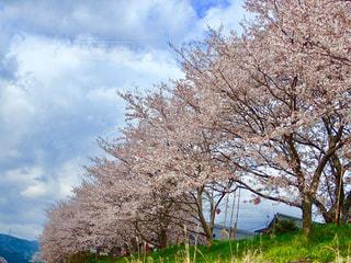 堤防の桜並木の写真・画像素材[1257939]