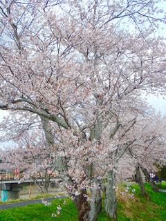 堤防の桜並木の写真・画像素材[1257940]
