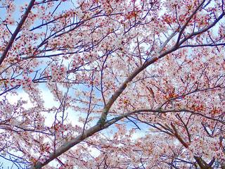 堤防の桜並木の写真・画像素材[1257941]