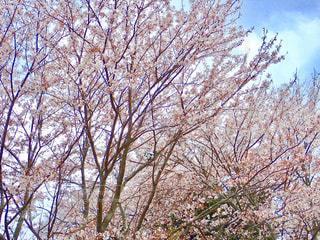 堤防の桜並木の写真・画像素材[1259208]