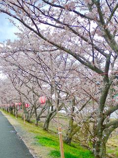 堤防の桜並木の写真・画像素材[1262910]