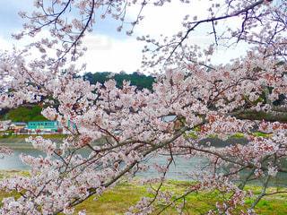 川沿いの桜並木の写真・画像素材[1262911]