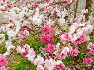 川沿いの桜の写真・画像素材[1262912]