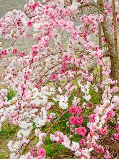 川沿いの桜の写真・画像素材[1262913]