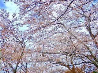 河川敷の桜並木の写真・画像素材[1262918]
