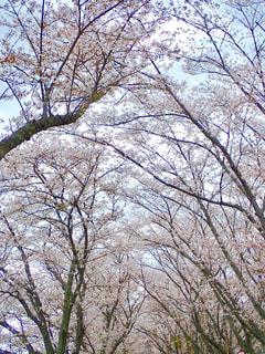 川沿いの桜並木の写真・画像素材[1262925]