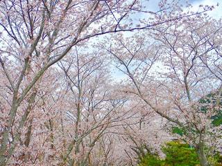 河川敷の桜並木の写真・画像素材[1262926]
