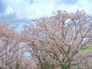 川沿いの桜並木の写真・画像素材[1262931]