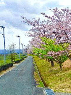 公園の桜並木の写真・画像素材[1266765]