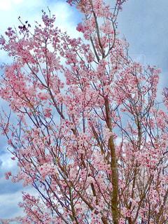 公園の桜の写真・画像素材[1266767]
