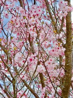 公園の桜の写真・画像素材[1266768]