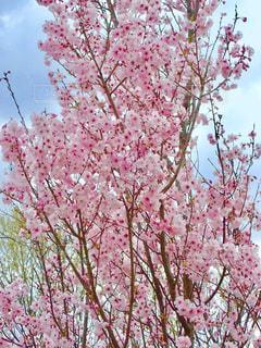 公園の桜の写真・画像素材[1266769]