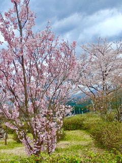 公園の桜の写真・画像素材[1266771]