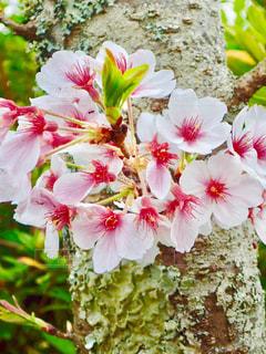 公園の桜の写真・画像素材[1266772]