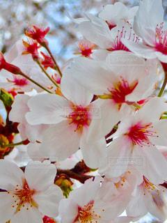 公園の桜の写真・画像素材[1266773]