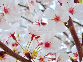 公園の桜の写真・画像素材[1266774]