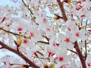 公園の桜の写真・画像素材[1266775]