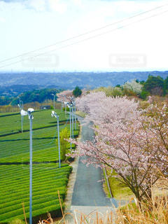 公園の桜並木の写真・画像素材[1268794]