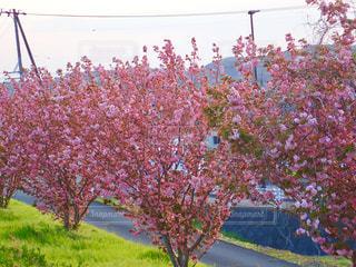 堤防の八重桜の写真・画像素材[1268795]