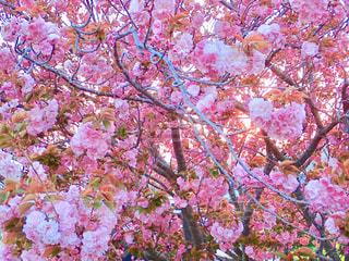 堤防の八重桜の写真・画像素材[1268796]