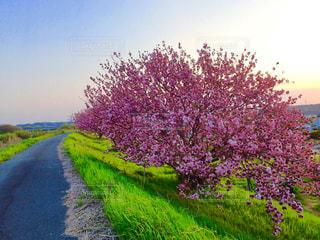 堤防の桜並木の写真・画像素材[1268797]