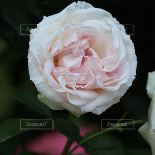 純白のフラワーの写真・画像素材[1202503]