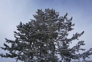 雪の木の写真・画像素材[1202794]