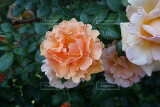 薔薇の写真・画像素材[1204269]