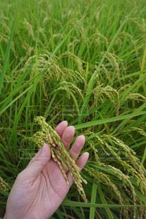 黄金の稲の写真・画像素材[1432287]