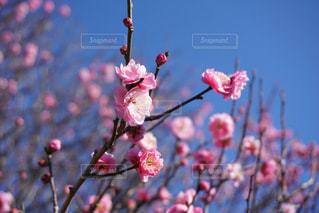 梅の花の写真・画像素材[1744638]