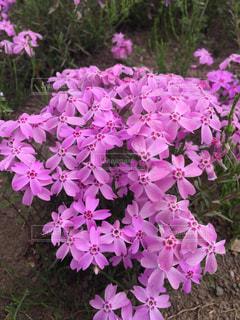 芝桜の写真・画像素材[1202929]