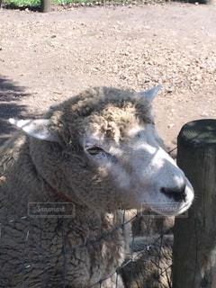 羊さんのアップの写真・画像素材[1211600]